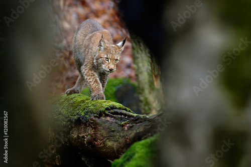 Poster Lynx Beautiful wild cat Lynx in the nature forest habitat. Eurasian Lynx in the forest, birch and pine forest. Lynx lying on the green moss tree log. Cute lynx, wildlife scene from nature, Slovakia