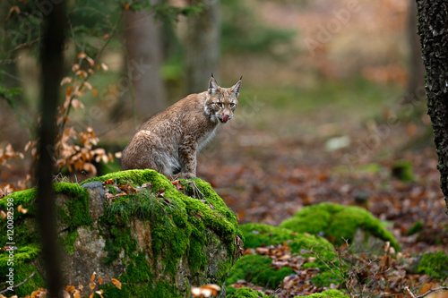 Poster Lynx Wild cat Lynx in the nature forest habitat. Eurasian Lynx in the forest, birch and pine forest. Lynx lying on the green moss stone. Cute lynx, wildlife scene from nature, Germany