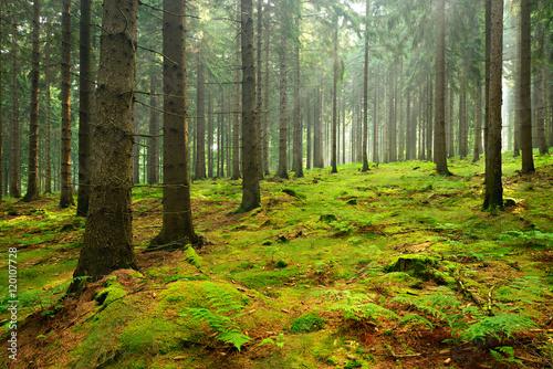 las-swierkowy