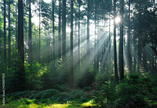 Fototapeten Wald Natural Forest of Spruce Trees illuminated by Sunbeams through Fog, Eifel Mountains, Germany