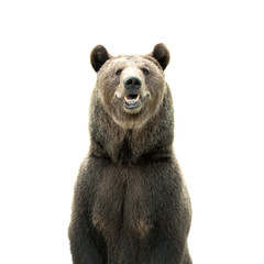 Big brown bear isolated on white background