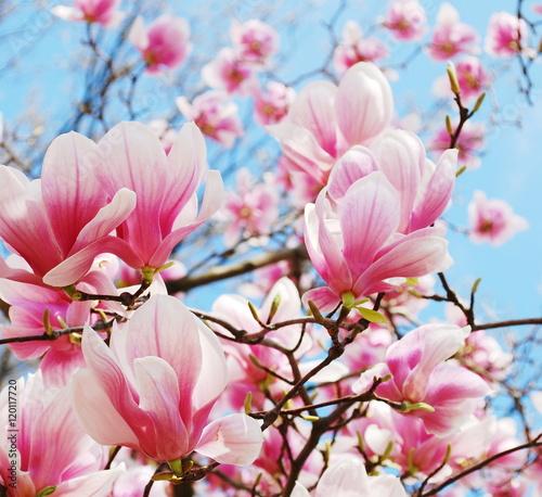 Deurstickers Magnolia magnolia blossom