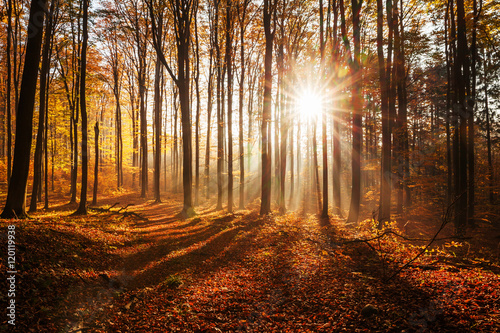 Red and colorful autumn colors in the beech forest Poster