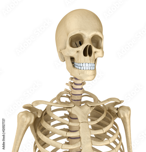 Garden Poster Sweet Monsters Torso of human skeleton, isolated. Medically accurate 3d illustration .