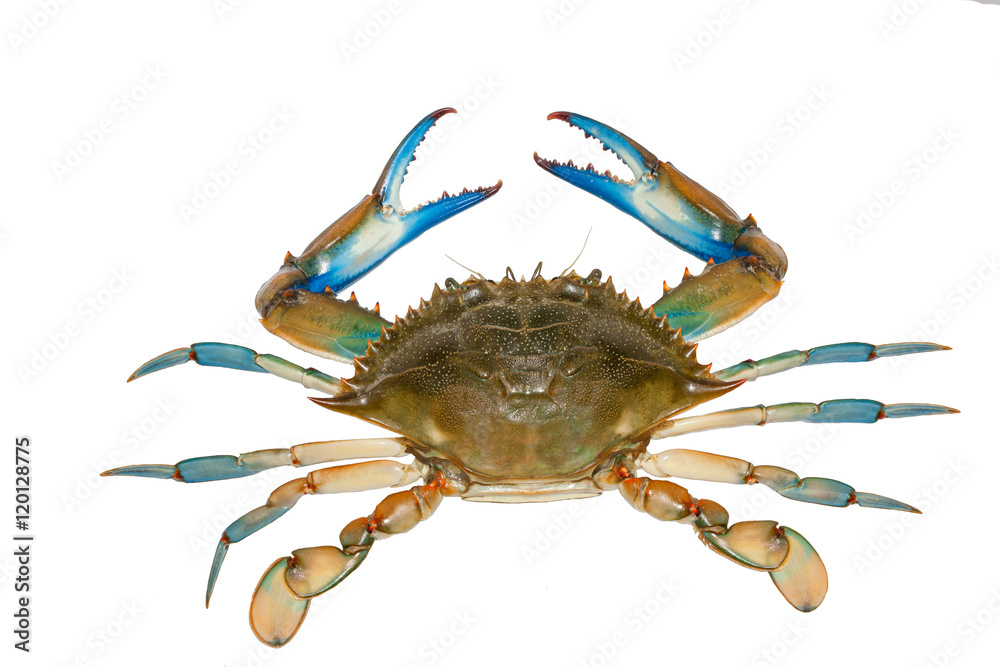 Fotografía Blue crab isolated on white background | Europosters.es