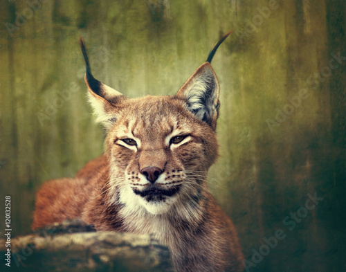 Foto auf Leinwand Luchs Siberian lynx