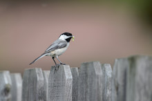 Cute Chickadee On A Fence With A Worm For Its Babies