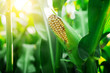 Leinwandbild Motiv Fresh cob of ripe corn on green field at sunset