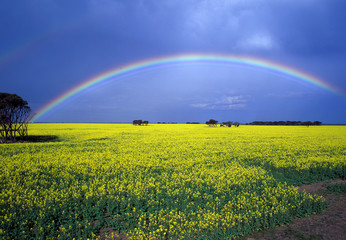 Rainbow over a canola crop near Hopetoun Western Australia..