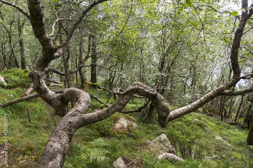 Fotografie, Obraz  twisted tree on the path to Preikestolen in Norway