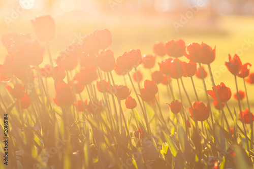 Foto auf AluDibond Tulpen Red tulips shot against backlight