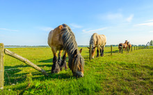 Large Belgian Horse Is Eating Grass At The Other Side
