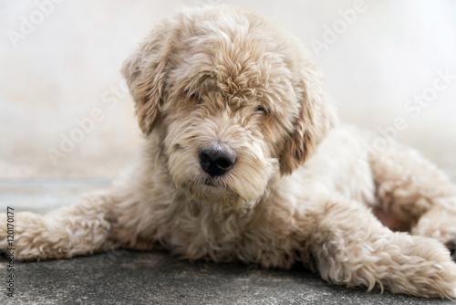 Valokuva  Close Up, Dog Lying on the Floor.