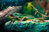 Fototapeta Zwierzęta - Colourful Asian water dragon (Physignathus cocincinus) - smok wodny