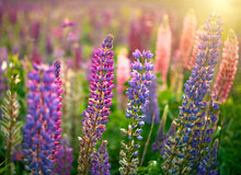 Lupine Flowers Background. Field Of Lupines Flowers In Sunset Light