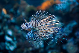 Fototapeta Do akwarium - Red lionfish (Pterois Volitans)