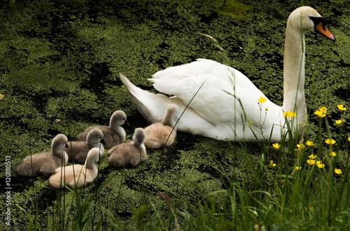 Poster Swan Zwaan met jongen