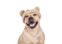 Blije Vrolijke Lachende Hond, Amerikaanse Stafford, Met Gebreide Muts Met Pompons