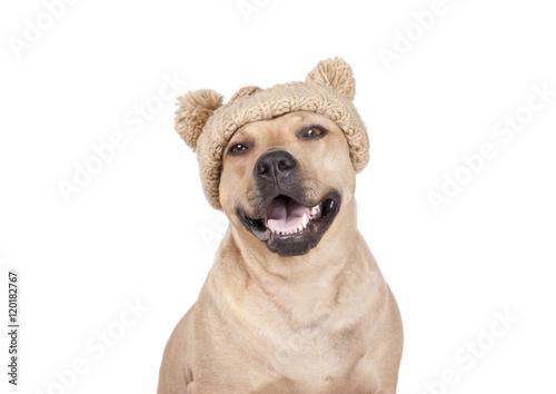 Poster Dog blije vrolijke lachende hond, Amerikaanse Stafford, met gebreide muts met pompons