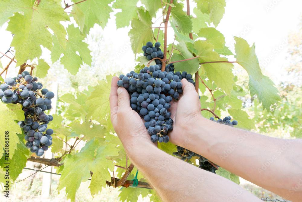 Reben für Wein Foto, Poster, Wandbilder bei EuroPosters