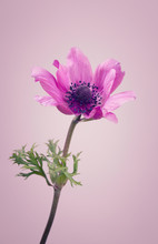 Purple Ranunculus Flower On A ...