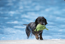 Dog, Dachshund, Fetching Toy Out Of Swimming Pool