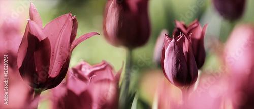 pak-tulipana