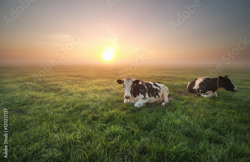 Photo Stands Cow relaxed cows on pasture at sunrise