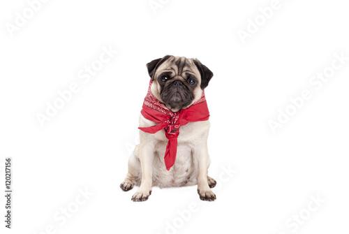 Poster Dog zittende mopshond puppy met rode boerenzakdoek om hals
