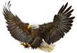 Bald eagle swoop landing hand draw and paint on white background vector illustration.