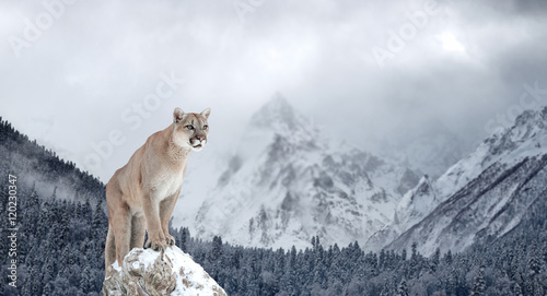 In de dag Puma Portrait of a cougar, mountain lion, puma, Winter mountains