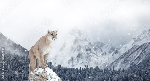Poster Puma Portrait of a cougar, mountain lion, puma, Winter mountains