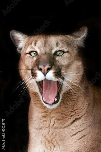Funny puma portrait