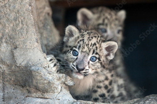Cadres-photo bureau Leopard Snow leopard baby portrait