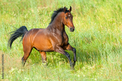 Foto op Canvas Paarden Bay stallion run on spring field