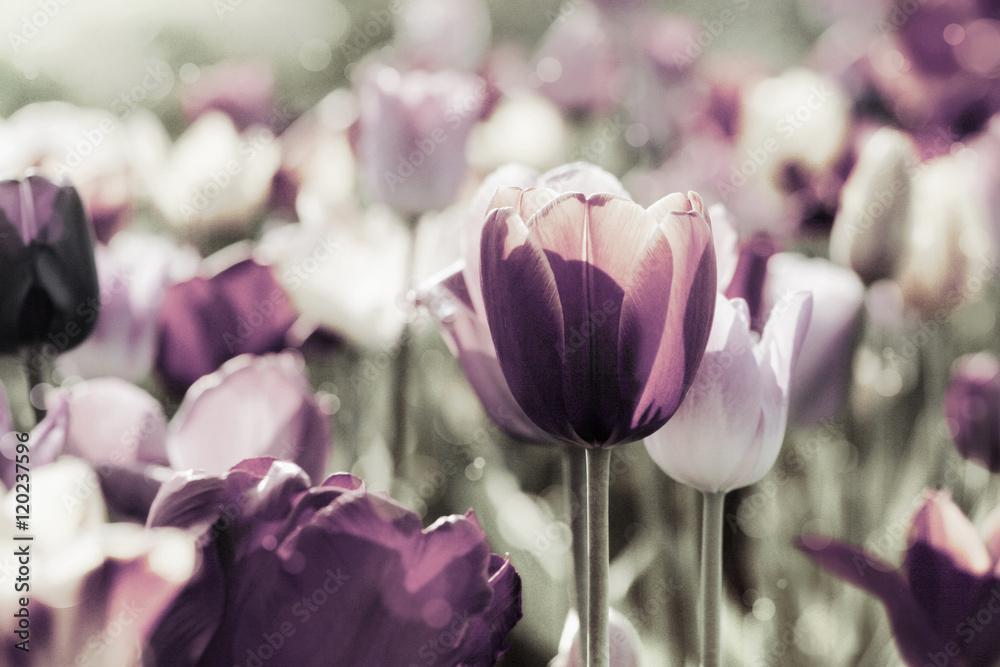 Fototapety, obrazy: Tulipany w pastelowych kolorach