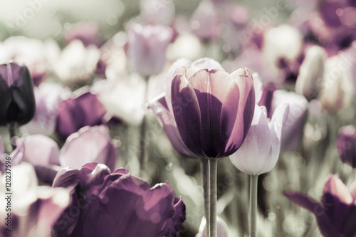 tulpen gefärbt Принти на полотні