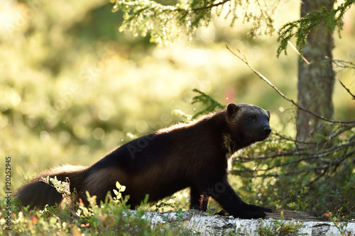 Printed kitchen splashbacks Panther wolverine portrait in sunny forest