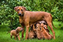 Rhodesian Ridgeback Nursing Her Puppies In The Garden