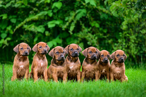 Fotografija Seven Rhodesian Ridgeback puppies sitting in row on grass