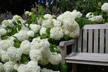 Hortensias Blanc Au Jardin (Hydrangea)