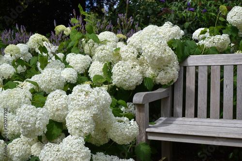 Foto auf Gartenposter Hortensie Hortensias blanc au jardin (Hydrangea)