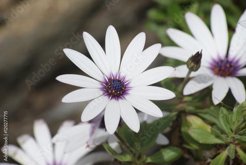 Foto  fleurs blanches