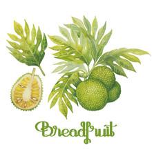 Watercolor Breadfruit Set