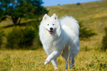 Siberian Samoyed. White Husky Dog