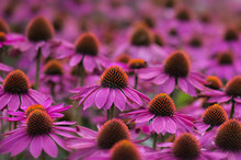 Close Up Of Coneflowers In Field