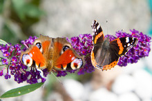 The European Peacock And The Red Admiral Butterflies On Buddleja Davidii (summer Lilac) Flowers