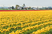Field Of Yellow And Red Tulip Rows In Rural Countryside With Farm Houses