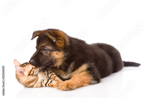 Poster Chien Puppy biting kitten. isolated on white background