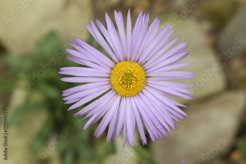 "Photo ""Smooth Townsend Daisy"" flower in St"